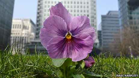 Pansy-Power